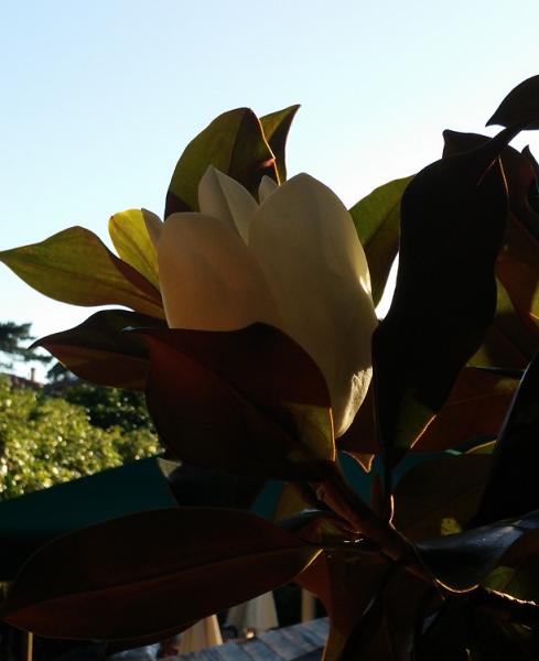 Flor de Magnolia.png